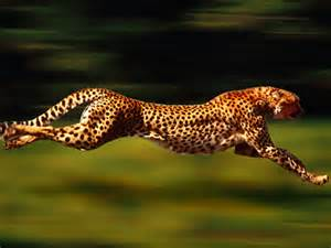 cheetahAug2013